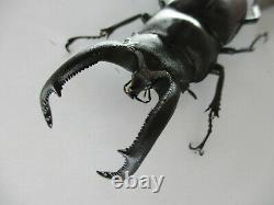 75802Lucanidae Weinreichius perroti. Vietnam South. 76mm. Big