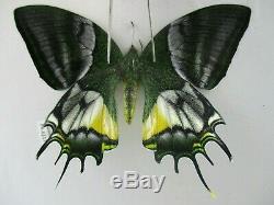 PA6213. Unmounted butterflies Teinopalpus aureus eminens. South Vietnam