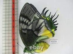 PA6216. Unmounted butterflies Teinopalpus aureus eminens. South Vietnam