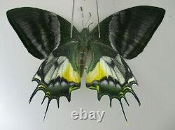 PA6217. Unmounted butterflies Teinopalpus aureus eminens. South Vietnam