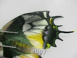 Pa6192. Unmounted butterflies, Papilio sp. South Vietnam