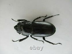 75797lucanidae Weinreichius Perroti. Vietnam Sud. 76mm. Grand, Rare