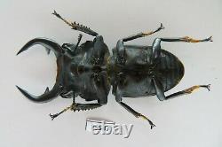83547lucanidae Dorcus Curvidens Babai. Vietnam Sud. Très Grand. Rare