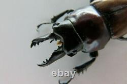 90992lucanidae Neolucanus Baongocae. Vietnam Sud. 39 MM