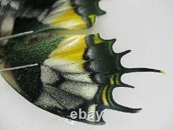 Pa6192. Papillons Non Montés, Papilio Sp. Vietnam Du Sud