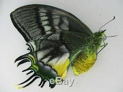 Pa6213. Papillons Teinopalpus Aureus Eminens Unmounted. Sud-vietnam