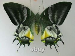 Pa6216. Papillons Non Montés Teinopalpus Aureus Eminens. Vietnam Du Sud