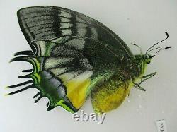 Pa6217. Papillons Non Montés Teinopalpus Aureus Eminens. Vietnam Du Sud